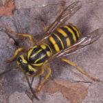 Hornets & Yellowjackets